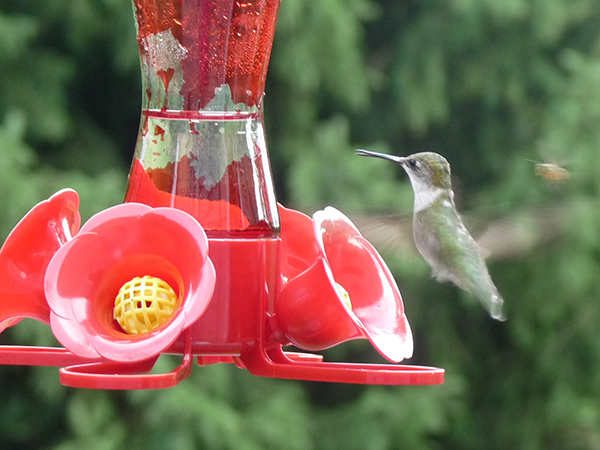 humming bird and bee friend
